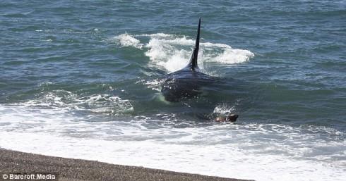 orca_caza_foca_01