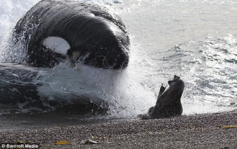 orca_caza_foca_02