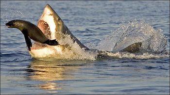 tiburon_caza_foca_01