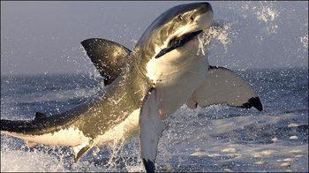 tiburon_caza_foca_02