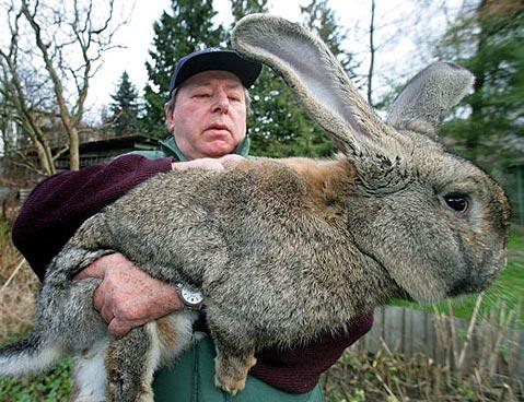 conejo_gigante