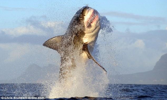 Tiburon Blanco - Taringa!