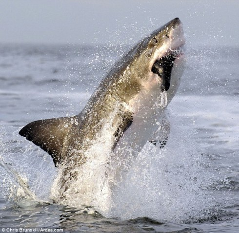 tiburon_blanco_2