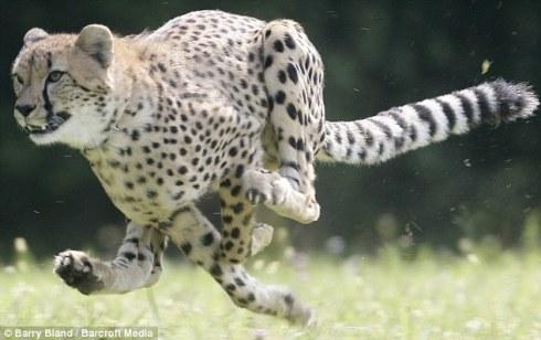 leopardo_cazador